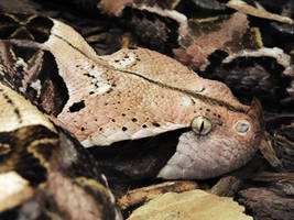 Gaboon Viper by ColdEdge