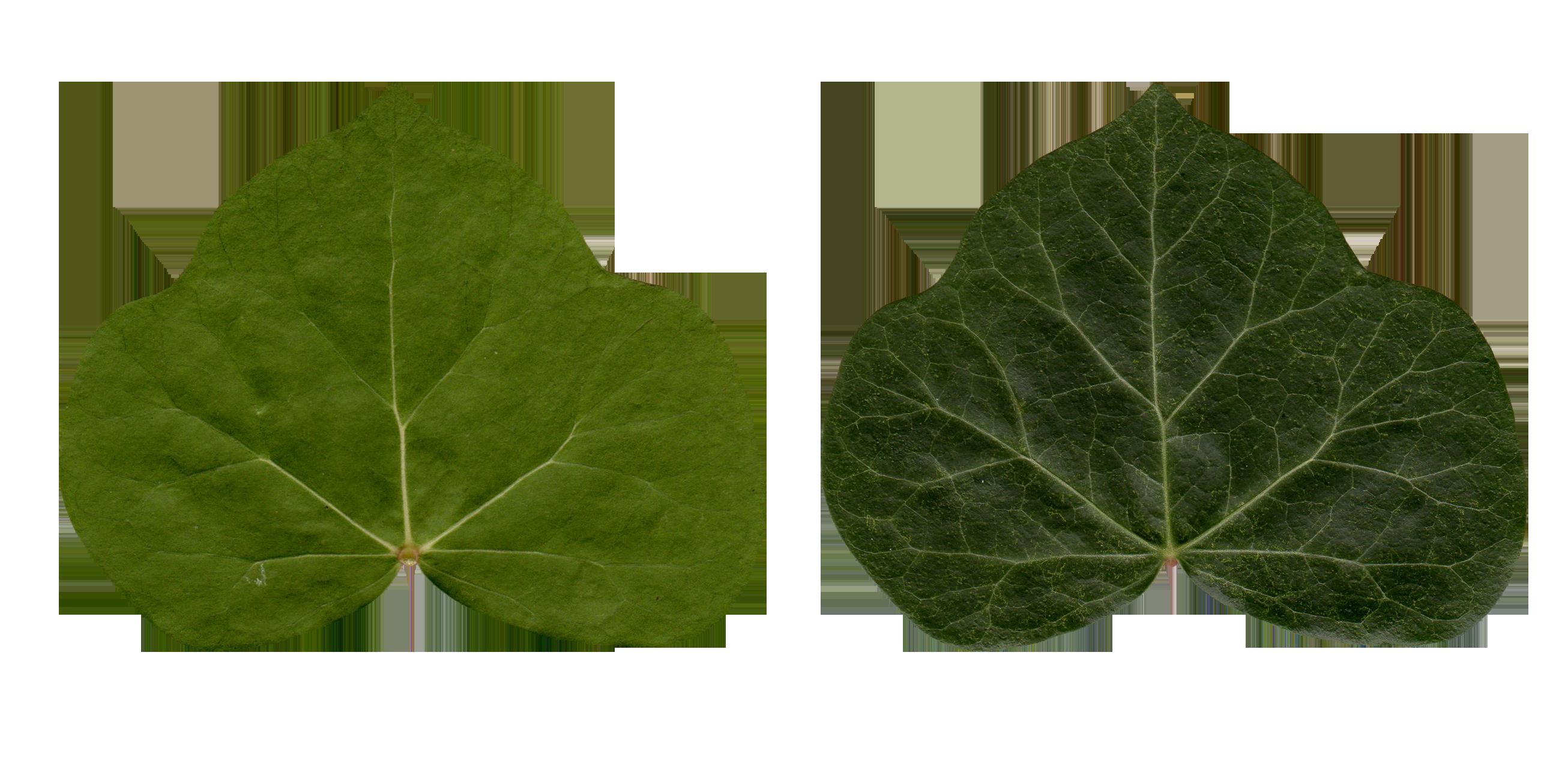 apple leaf wallpaper