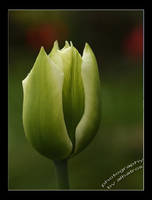White Tulip by albatros1