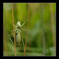 stilting Grasshopper by albatros1