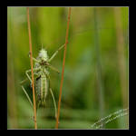 stilting Grasshopper