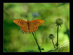 Butterfly by albatros1