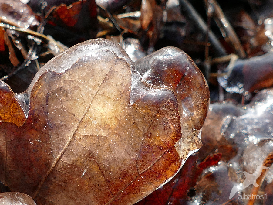frozen Leaf by albatros1
