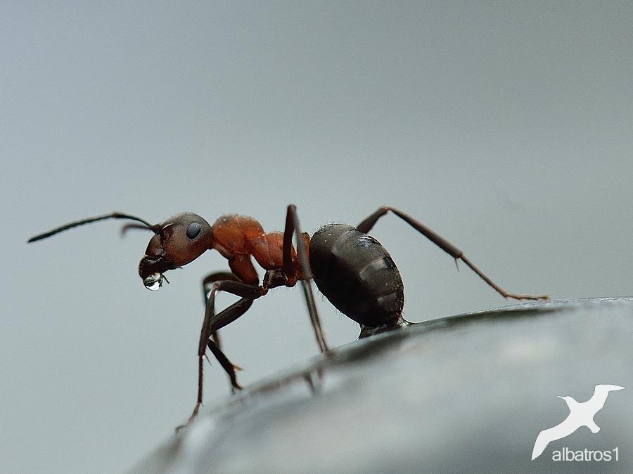 Anty by albatros1