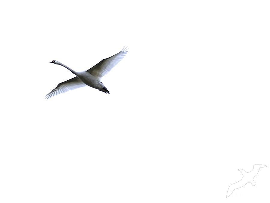 One Swan by albatros1