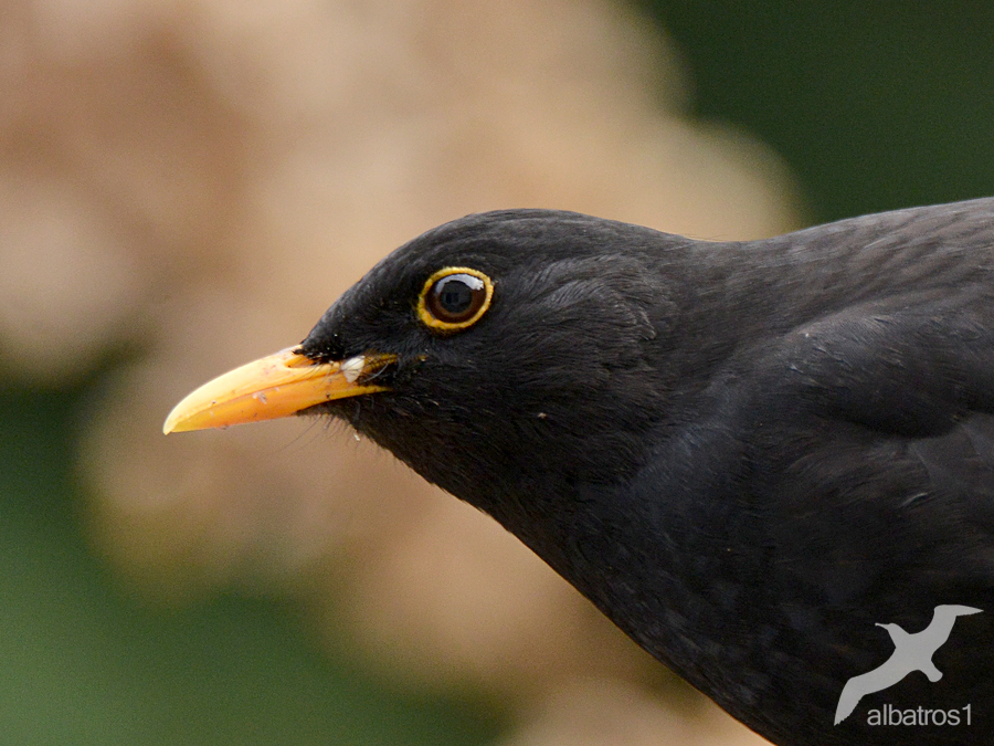 Blackbird by albatros1