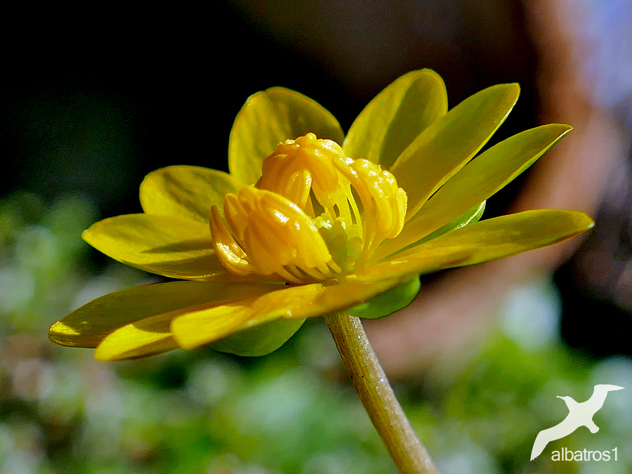 Little Yellow by albatros1