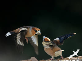 Grosbeak in attack by albatros1