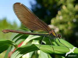 Calopteryx virgo by albatros1
