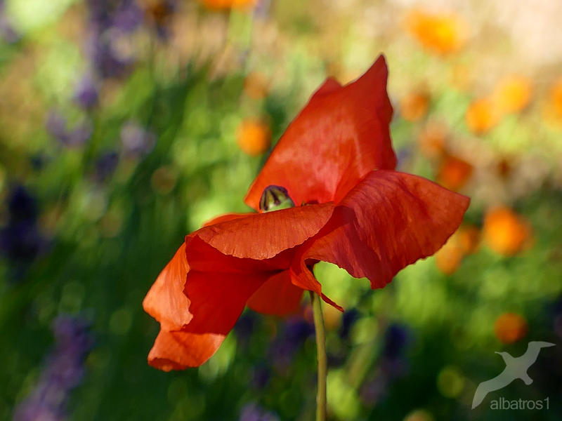 Poppy by albatros1