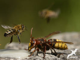 Hornet and Bee by albatros1