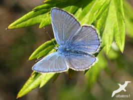 Lycaenidae by albatros1