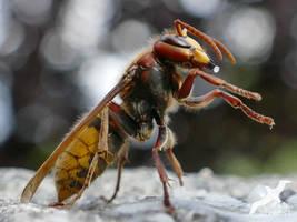 Hornet Again And Again by albatros1