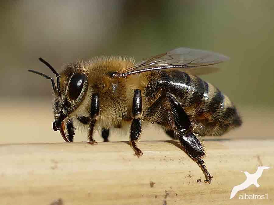 Bee by albatros1