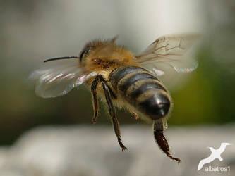 flying Bee by albatros1
