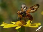 Phasia hemiptera by albatros1