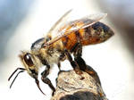 Bee with white beard