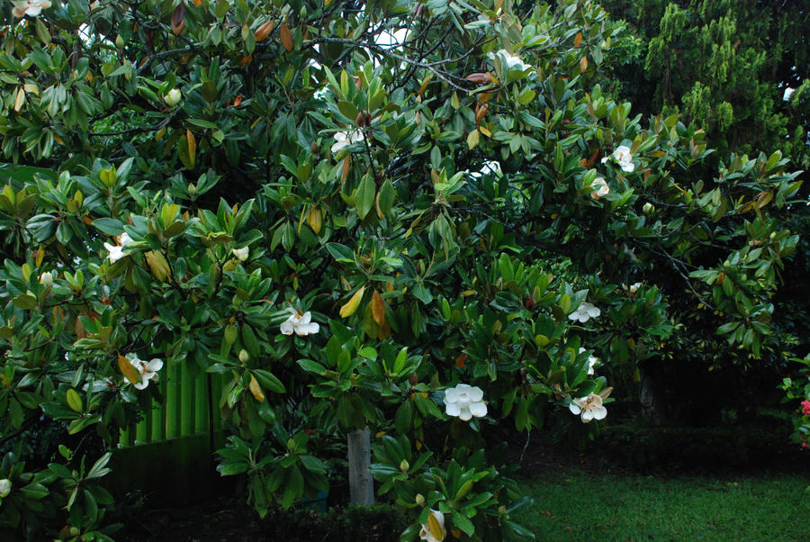 arbol de magnolia by necrojoker00 on deviantart