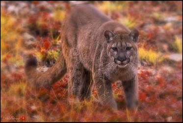 Cougar in the fall leaves
