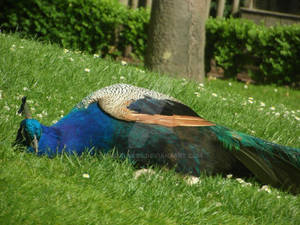Peacock 07