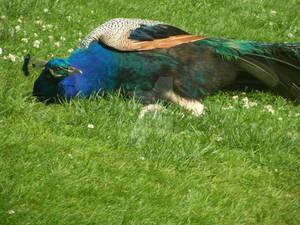 Peacock 09