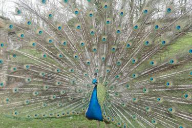 Peacock 13