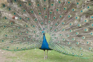 Peacock 14