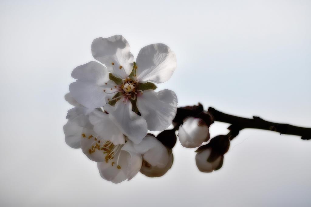 fleur d 39 amandier by meles11 on deviantart. Black Bedroom Furniture Sets. Home Design Ideas
