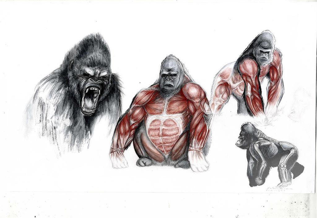 Singes-gorille-anatomie-salembier-colo by salembier on DeviantArt
