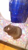Lani the hamster