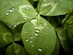 Drops on a Clover