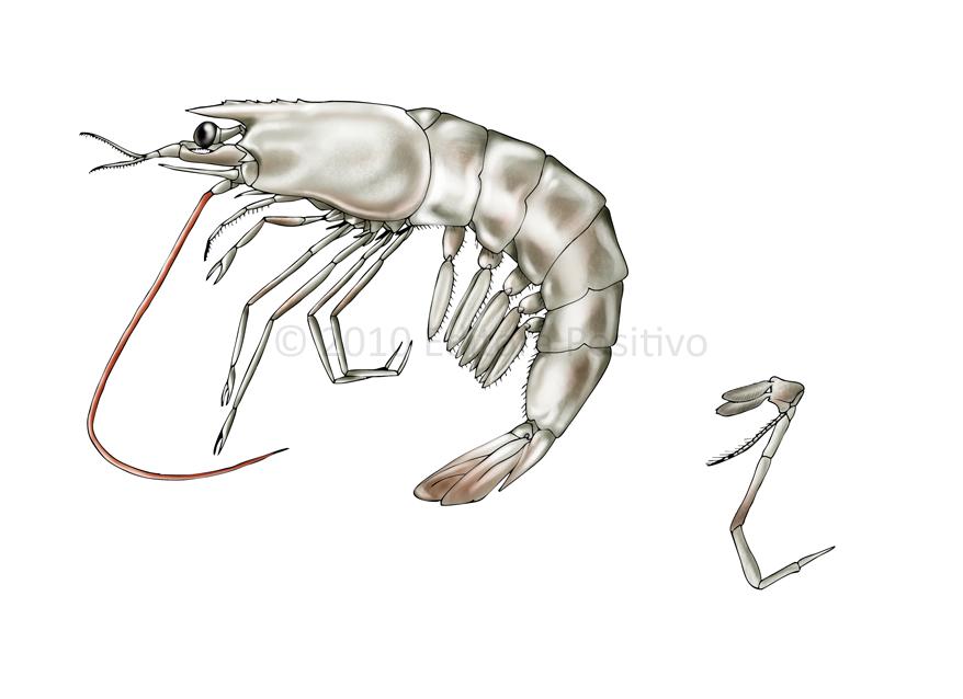 Anatomy of shrimp