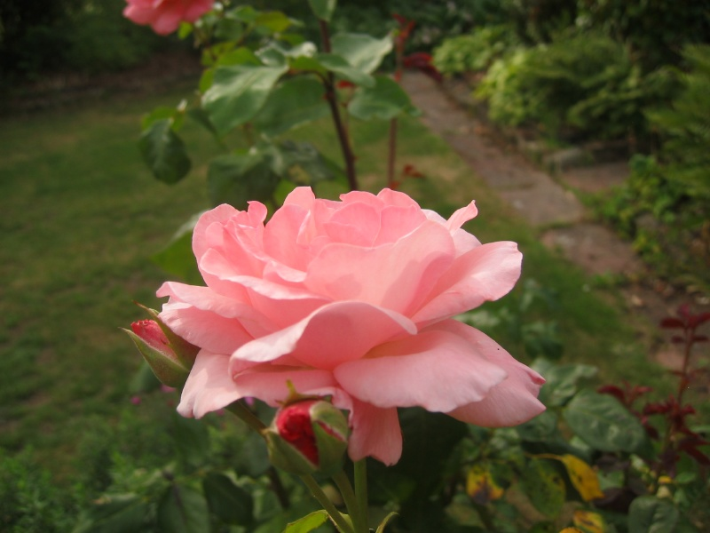 Rose by SilentStriker24