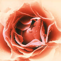 vintage rose by illusionality