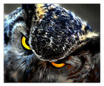 Great Horned Owl by Dr-Koesters