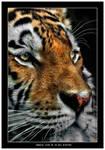 Siberian Tiger close up