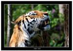 Amur Tiger Portrait by Dr-Koesters