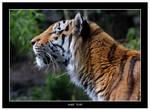 Amur Tiger Side View