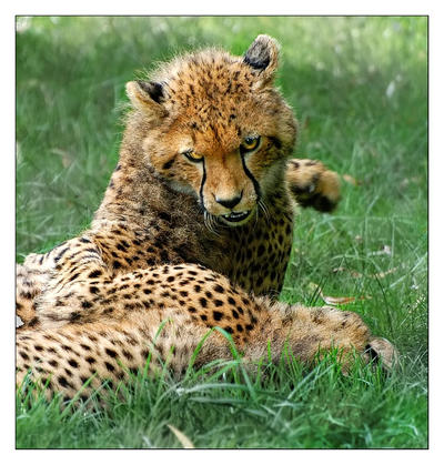 Cheetah: Caught in the act