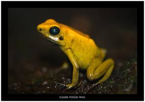 Golden Poison Frog