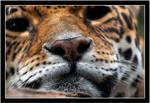 Jaguar nose really close