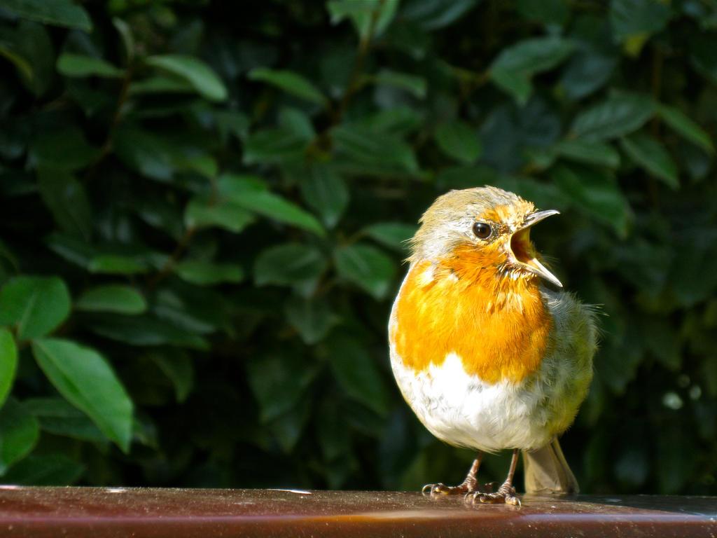 Angry Robin by Kancano