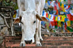 Sacred cow with prayer flags
