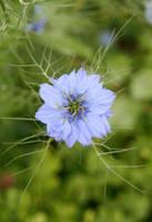 Pretty bloom by Kancano
