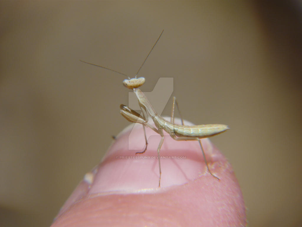 Itty Bitty Praying Mantis