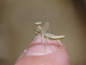 Itty Bitty Praying Mantis