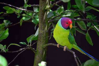 Plum-Headed Parakeet by Choccylover