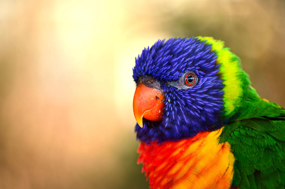 Rainbow Lorikeet by Choccylover
