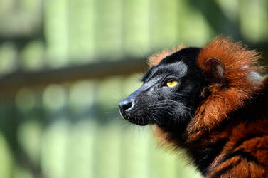Red Ruffed Lemur by Choccylover
