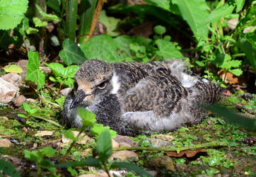 Blacksmith Plover chick by Choccylover